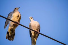 Doves on the wire on blue sky Stock Photography