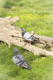doves in the zoo Stock Photos