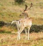 Dovhjortanseende i långt gräs royaltyfri bild