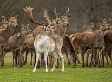 Dovhjortar bland röda hjortar Royaltyfri Bild