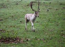 Dovhjortar Damadama som vrålar i skog royaltyfri fotografi