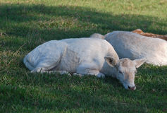 Dovhjortar Fawn Resting Arkivbilder
