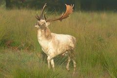 Dovhjortar hjortar, Damadama royaltyfria foton
