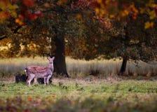 Dovhjortar i Autumn Setting royaltyfri bild