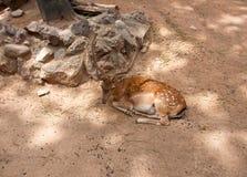 Dovhjortar i i Parcen de la Ciutadella. Barcelona. Royaltyfri Foto