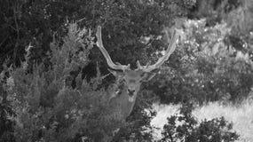 Dovhjortar i sammet Royaltyfri Fotografi
