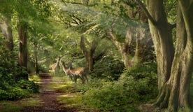 Dovhjortar i skogen Arkivfoto