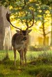 Dovhjortar i skogsmark Arkivfoton