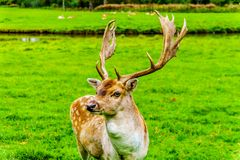 Dovhjortar med horn på kronhjort i en äng royaltyfria foton