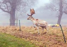Dovhjortar sparkar bakut - Damadamaen omkring för att hoppa över ett elektriskt staket Arkivfoto