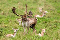 Dovhjortar sparkar bakut - Damadamaen, Warwickshire, England Fotografering för Bildbyråer