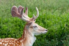 Dovhjortar sparkar bakut med sammet täckte horn på kronhjort, Warwickshire, England royaltyfri bild