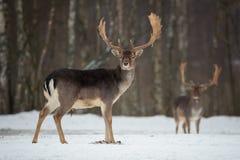 Dovhjortbock Majestätiska kraftiga vuxna dovhjortar, Damadama, i vinterskog, Vitryssland Djurlivplats från naturen, Europa A Arkivfoton