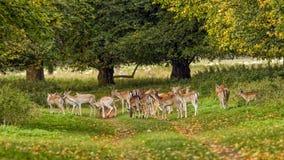 Dovhjortflock - Damadama, Warwickshire, England Arkivbilder