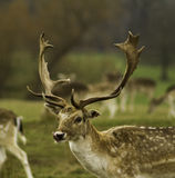 Dovhjortfullvuxna hankronhjorten med horn på kronhjort Attingham parkerar Shropshire arkivbild