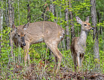 Doe and Fawn Grazing. Two deer in the woods grazing on the abundant foliage stock image
