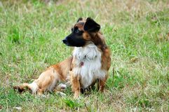 The careful look of a dowdy dog. The dowager is a breed, characterized by lengthened body and short paws, is a family-friendly dog and apartment life stock photo