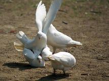 dowcipny gołębia white obrazy stock
