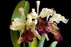 Dowiana Orchid Stock Images