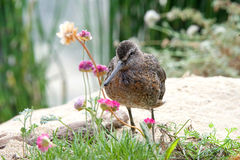 Dowitcher bird on the beach in marshland. One Dowitcher bird standing on a sandy hill with flowers and shrubbery around it Stock Image