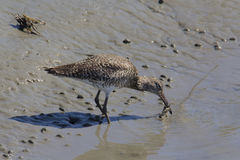 Dowitcher catches a crab Stock Photo