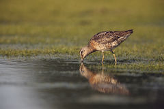 dowitcher Court-affiché, griseus de Limnodromus Photo stock