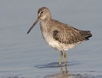 Dowitcher Curto-faturado Foto de Stock