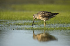 dowitcher Curto-faturado, griseus do Limnodromus Foto de Stock Royalty Free