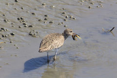 Dowitcher with small crab Royalty Free Stock Photo