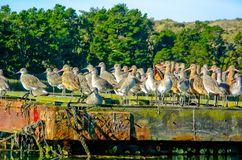 Dowitchers and Marbled Godwits Resting and Roosting