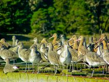 Dowitchers and Marbled Godwits Resting