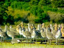 Dowitchers and Marbled Godwits Resting and Watching