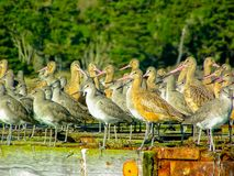 Dowitchers and Marbled Godwits Roosting and Resting