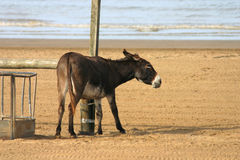 Down a bit. Beach donkey scrathing on the beach at Weston super Mare, a traditional English seaside resort stock images