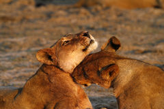 Affectionate African Lions Royalty Free Stock Images