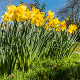 Down With The Daffodils. A low viewpoint of a collection of springtime daffodils royalty free stock image