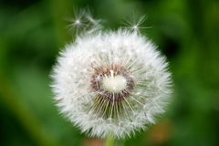 Down of dandelion. Pubescence of the dandelion on green grass background Stock Photos