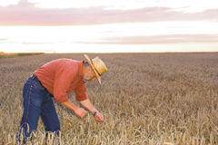 The down on the field of wheat Stock Photography
