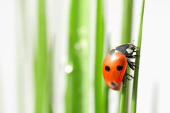 Down in the grass. Orange ladybug on green grass, with copy-space Stock Photo
