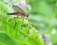 Down-looker Fly (Rhagio scolopacea) Royalty Free Stock Photo