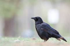 Down low with crow Royalty Free Stock Image