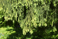 Down overhanging branches of spruce in forest, horizontal Royalty Free Stock Images