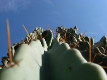 Cereus Peruvianus Royalty Free Stock Photos