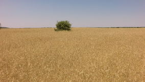 Down to wheat field with holm oak in the middle stock footage