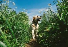 Golden Labrador walking in the spring park, natural light stock images