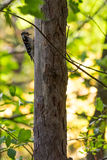 Down woodpecker Royalty Free Stock Images