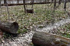 A pathway through a wooded area. Downed tree in a wooded area of Wisconsin in spring with a section of log removed to clear the path.  The section is rolled to royalty free stock photography