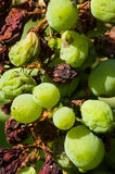 Downey mildew. (plasmopara viticola). One of the most fungine important grapewine's disease Royalty Free Stock Photography