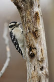 Downey Woodpecker Royalty Free Stock Photography