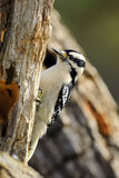 Downey Woodpecker  Royalty Free Stock Image